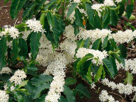 Цветок кофейного дерево