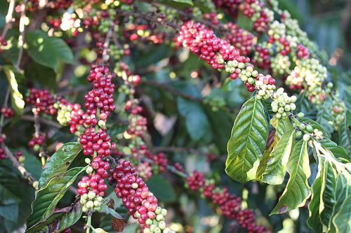 Кофейное дерево Либерика