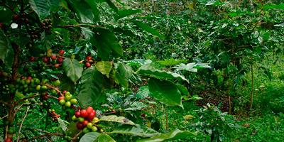 Никарагуанский кофе