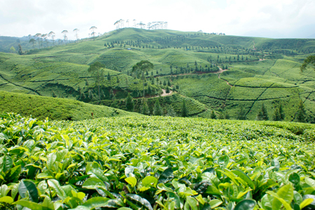 Никарагуанская кофейная плантация
