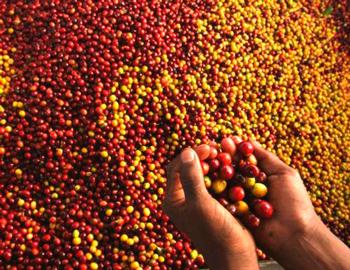 Кофейные зерна Либерика