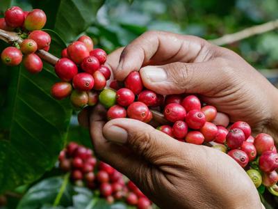 Как растет кофе